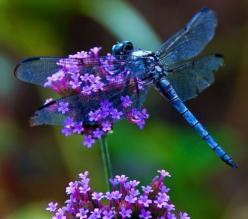 dragonfly: Blue Dragonfly, Dragon Flies, Animals, Butterflies, Nature, Beautiful, Dragonflies