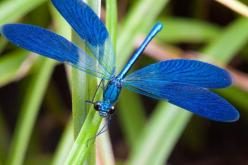 dragonfly: Blue Dragonfly, Dragon Flies, Beautiful Blue, Bugs, Color, Dragonfly S, Animal, Dragonflies