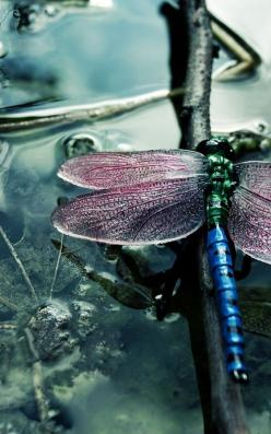 dragonfly #dragonfly: Dragon Flies, Nature, Color, Beautiful, Animal, Dragonflies