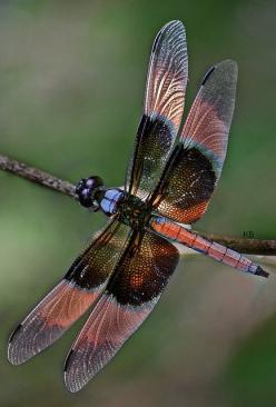 Dragonfly is as beautiful as butterflies, but here's a bonus:  They eat mosquitoes by the thousands!  This beauty has pink on its wings.: Dragon Flies, Butterflies Dragonflies Moths, Dragonfly S, Flutterby, Dragon-Fly
