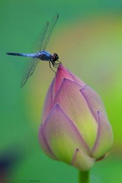 Dragonfly on Bud.: Blue Dragonfly, Butterflies Dragonflies, Dragon Flies, Nature, Flower