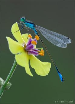 dragonfly on yellow flower: Dragon Flies, Nature, Yellow Flower, Dragonflies, Vladimir Eskin, Animal