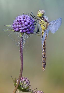 fantasyinphotos:    Dew covered dragonfly  (via Where is the sun; photo of Andreasgiessler - CHIP Photo World): Dragon Flies, Dragonfly S, Beautiful, Insects, Animal, Dragonflies, Purple Flower