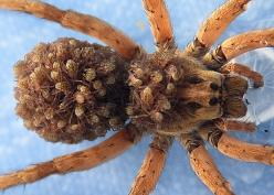 female wolf spider carrying babies on her back. these spiders are so cool.: Insects Butterflies Spiders, Science Nature, Wolves, Baby, Arachnids Insects, Carrying Babies, Spider Carrying