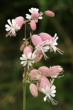 flower photo: Pink Campion ... delicate pink topped with white petal flower ...: Campion Flower, Flower Photo, Beautiful Flowers, Flower Power, Garden, Flower, Pink Campion