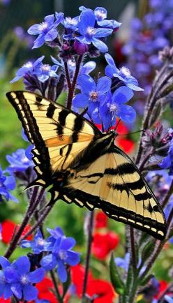 Flutterby • photo: Oakjack on Flickr: Beautiful Butterflies, Color, Butterflys Moths, Swallowtail Butterfly, Blue Flower