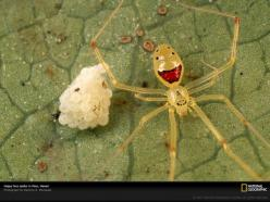 Found only on the islands of Oahu, Molokai, Maui, and Hawaii, the happy face spider, such as this one guarding its eggs on a leaf in Maui, is known for the unique patterns that decorate its pale abdomen. / via @binx: Happy Faced, Happy Faces, Animals, Spi