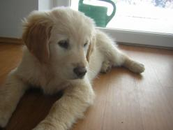 Golden Retriever puppy: Dogs Love Beautiful, Puppies Dogs, Golden Retrievers, Puppys Golden, Golden Puppy, Golden Retriever Puppies