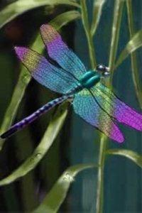 Google Image Result for http://angelhearttattoo.com/images/AnimalSymbolismDragonfly200x300.jpg: Dragon Flies, Dragonfly S, Dragonfly Tattoo, Be Beautiful, Dragonflies