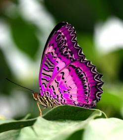 Gorgeous Pink & Purple Butterfly: Pink Butterfly, Beautiful Butterflies, Color, Purple Butterfly, Flutterby, Pink Purple, Animal