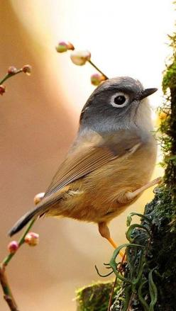 Gray-cheeked Fulvetta ✿⊱╮: Animals, Sweet, Gray Cheeked Fulvetta, Nature, Creature, Birdie, Beautiful Birds, Photo