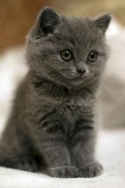 ❖ Gray? or Grey? ♠️: Cats, Gray Kitten, Grey Cat, Kitty Cat, Grey Kitten, Gray Cat, Pet, Kittens, Animal