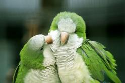 Green and white preening #birds #green: Animals, Nature, Poultry, Green, Beautiful Birds, Quaker Parrots, Bird Photography