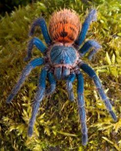 Green bottle-blue tarantulas are originally from Venezuela, and are one of the most colorful species of tarantulas around.  However they can be skittish and moody.: Tarantula Care, Pet, Google Search, Care Sheet, Green Bottle, Blue Tarantula, Tarantula Gu
