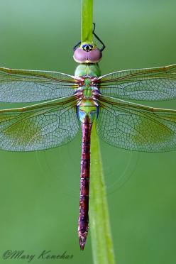 Green Darner Dragonfly - Macro Photo By: Mary Konchar: Bugs And Insects Photos, Nature, Dragonflys Libelulas, Dragon-Fly, Dragonflies, Animal