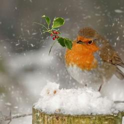 How beautiful! Winter bird watching is a great activity for families!: Robins, Beautiful Birds, Winter Birds, Photo, Christmas Robin