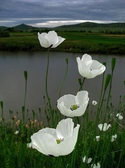 http://24.media.tumblr.com/tumblr_ma9yrkH0oT1qzs7m3o1_500.jpg: White Poppies, White Flower, Nature, Beautiful, Flowers, Photo, Garden, Flower
