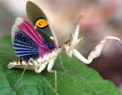 http://www.pinterest.com/billyt50/butterfliesmothsetc/ blue winged colorful mantis: Animals, Flower Mantis, Beautiful, Insects, Indian Flower, Praying Mantis