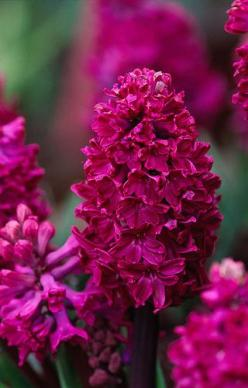Hyacinth 'Woodstock' / Hyacinthus is a small genus of bulbous flowering plants in the family Asparagaceae, subfamily Scilloideae. Plants are commonly called hyacinths. The genus is native to the eastern Mediterranean (from south Turkey to northern