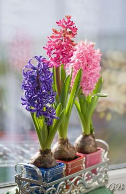 Hyacinths ~ indoor air freshener - such a beautiful scent: Spring Flowers, Idea, Spring Time, Flowers Plants, Gardens, Beautiful Flowers, Bloom, Hyacinth