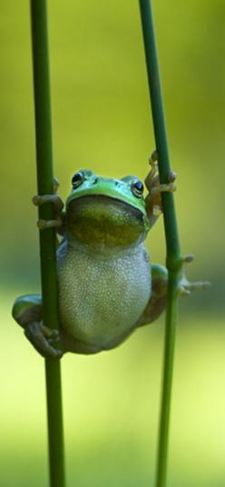 I'm GREEN... and I'm in the GARDEN... that's why I'm on this Board...   :-): Reptiles Amphibians Crustacean, Breathtaking Froggies, Colorful Frogs, Cute Frogs, Awesome Animals, Hang In There
