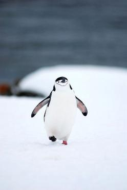 I've never seen a happier #penguin in my life.: Adorable Penguin, Cute Penguins, So Cute, Penguin, Walk, Animal