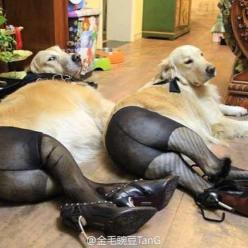 I can't stop laughing.: Animals, Pet, Funny Stuff, Funnies, Humor, Dog Wearing Pantyhose