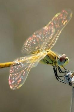 I never knew a Dragonfly was so beautiful~Until I saw one up close~They are quite Colorful and almost Magical looking~❥: Butterflies Dragonflies, Animals, Make It Easier To, Dragonfly S, Dragon-Fly