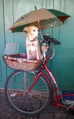 I wonder if my Labrador will fit on this basket? Not... But this us the nicest pet carrier I've seen. Anyone know who makes it? I would love to know.: Bicycles, Animals, Dogs, Bike, Pets, Photo, Bicycle