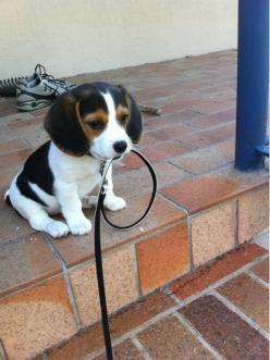i would take this pup on a walk: Puppies, Animals, Walks, Dogs, So Cute, Pets, Puppys, Beagle, Baby