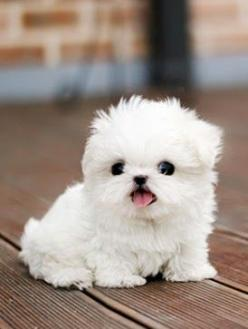 Im gonna cry he's so cute!! I cant take it. I need this dog!! 5 Cutest Teacup puppies you have ever seen | The Pet's Planet: Teacup Dog, Teacup Puppies, Cutest Pet, Puppys, Small Cute Puppy, Tiny Dog