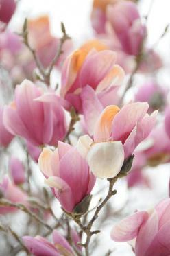 """In quantum physics if you change the behavior of one particle, another particle in a different location will instantaneously react whether inches or universes away."" Eric Pearl❤️☀️: Magnolias, Beautiful Flowers, Pink, Garden, Spring"