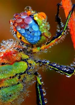 Insect covered in dew drops ~ I would so hang this pic in my home.  Look closely at it...so cool!: Animals, Nature, Color, Dragonfly Covered, Dew, Insects, Photo, Dragonflies