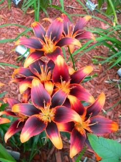 Lily 'Starlette' - what a GORGEOUS flower!!... I will have these planted all over my yard when I have my own place: Green Thumb, Beautiful Flowers, Lily Starlette, Tattoo, Flowers Garden, Starlette Lily, Pretty Flower, Favorite Flower