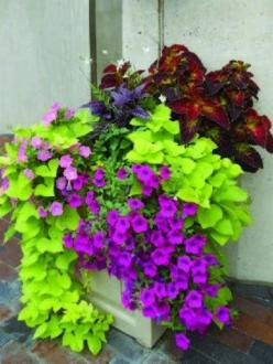 LOVE these colors and all so easy to grow!: Flower Container, Garden Container, Container Garden, Flower Pot, Container Flower, Design Blog, Color Combination