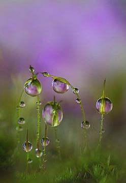 Love this. ....Moss with lilac refraction. Artist: Lyn Evans at Red Bubble.: Water Drops, Purple, Nature, Raindrop, Dewdrops, Rain Drops, Dew Drops, Water Droplets