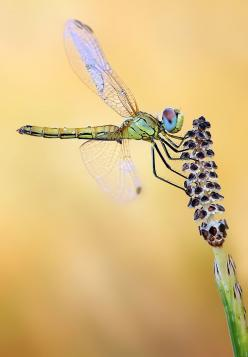 love this photo by Ondrej Pakan because it shows the way the wings of a dragonfly move separately... cool!: Animals, Dragonfly S, Blue Eyes, Dragonfly Photo, Eye Dragonfly, Dragonflies