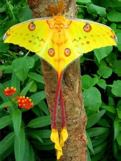 Madagascan moon moth: Butterfly, Moon Moth, Animals, Nature, Butterflies, Comet Moth, Beautiful