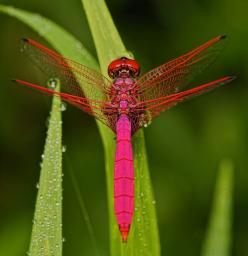Male Crimson Dropwing Dragonfly. Observing nature is such a fun pastime -guaranteed to inspire the mind and heart. Shamanically the dragonfly represents  making your dreams come true. For more shamanic insight, see the book, Shamanic Gardening: Timeless T