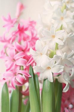 Mom, these were the flowers that I couldn't remember the name of. I love these, they smell so good.: Spring Flowers, Happy Flowers, Green, Beautiful Flowers, Pink, White Hyacinths, Beautiful Hyacinths, Garden