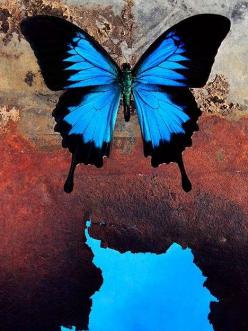 Morpho Butterfly. Butterfly fact: Most female butterflies are larger than males. Females also live longer. The life cycle of butterflies is between 2 days to 11 months.: Beautiful Butterflies, Spirit Animal, Butterfly Tattoo, Blue Butterfly, Art