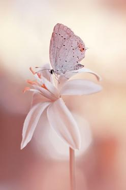 Motyl na kwiat (the butterfly on a flower) in Poland • photo: Dorota Krauze on 500px: Beautiful Butterflies, Pink Flower, Butterfly, Nature, Beauty, Flowers, Photo