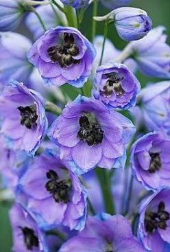 My Delphiniums in No. Ogden grew to over five feet.  They were spectacular!  sigh... I miss them.  Oh, well... I'll find a spot for a plant or two at the Pines.  (I hope): Color, Purple Flowers, Beautiful Flowers, Blue Delphinium, Beautiful Delphinium