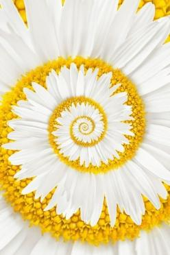 New Wonderful Photos: A Miracle Daisy: Spirals, Daisy I, Art, Daisies, Beautiful Flowers, Yellow, Garden, Miracle Daisy