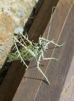 Not a mushroom or fungus, or lichen but I thought you would enjoy this little guy!!  the amazing camouflage of the lichen katydid: Amazing Camouflage, Nature, Beautiful Bugs, Creature, Lichen Katydid, Insects, Katydid Markia, Animal