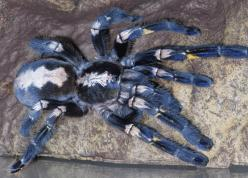 Not sure of the proper name of this exotic looking tarantula. But one thing is for sure it's beautiful.: Guy, Arachnid