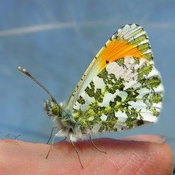 Orange-tip butterfly (Anthocharis cardamines), - Upper-Broughton, Nottinghamshire, England by RobBrown: Animals Butterflies, Beautiful Butterflies, Butterflies Dragonflies, Wings, Animals Insects, Butterflys Moths