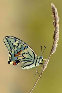 ~~Papilio Machaon by Roberto Becucci~~: Papilio Machaon, Delicate Papilio, Butterfly, Flutterby, Papilion Machaon, Photo, Animal