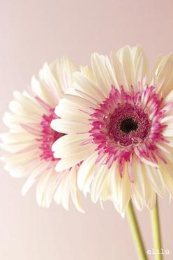 Pink and white daisies: Gerbera Daisies, White Gerbera, Gerbera Daisy, Flower Power, Beautiful Flowers, Bloom, Garden