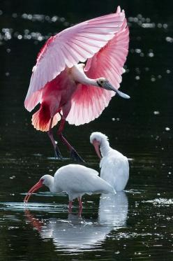 Pretty In Pink: Animals, Pink Spoonbill, Beautiful Birds, Spoonbill Landing, Photo, Pink Bird, Roseate Spoonbill
